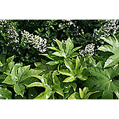 Japanese aralia (Fatsia japonica)