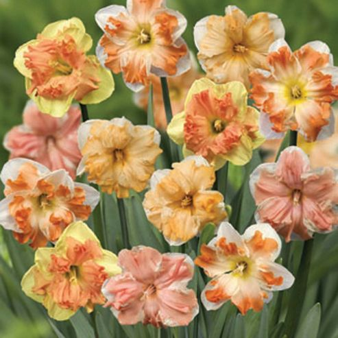 Narcissus 'Rainbow Butterflies Mixed' - 10 bulbs