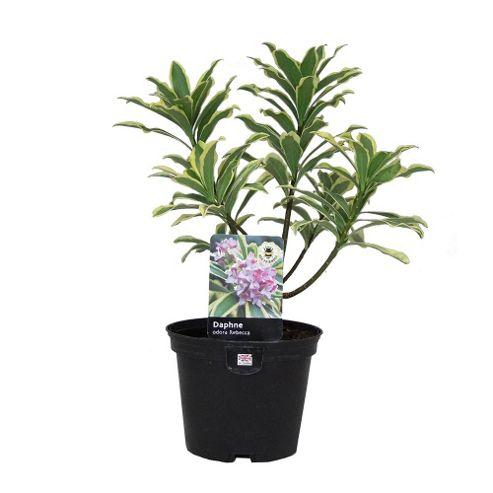 buy daphne odora rebecca shrub 2l potted from our plants. Black Bedroom Furniture Sets. Home Design Ideas