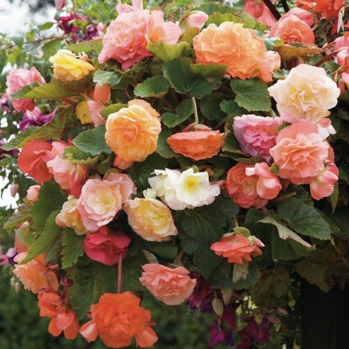 Begonia x tuberhybrida 'Fragrant Fountains® Mixed' - 15 tubers
