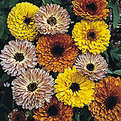 Calendula officinalis 'Touch of Red Mixed' - 1 packet (150 seeds)