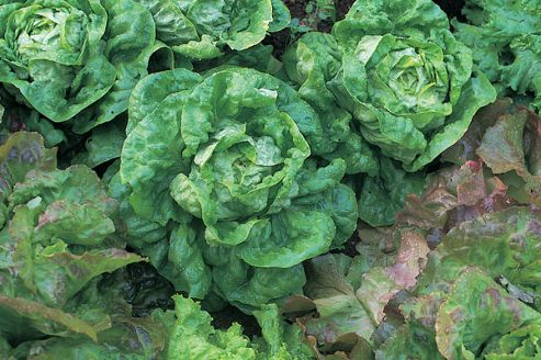 lettuce (lettuce 'All Year Round')