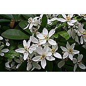 Mexican orange blossom (Choisya ternata)
