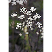 cow parsley (Anthriscus sylvestris 'Ravenswing')