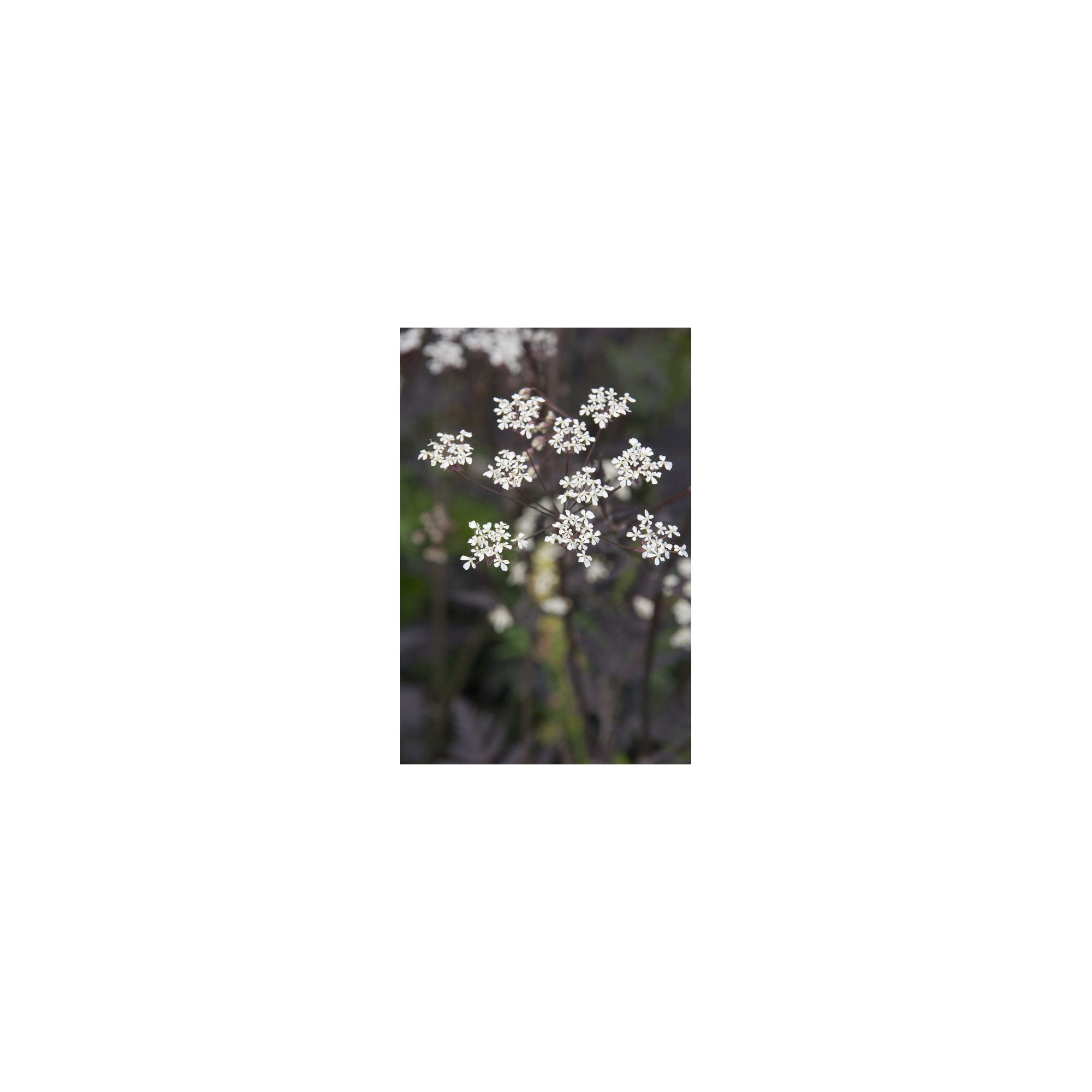 Cow Parsley (Anthriscus Sylvestris Ravenswing)