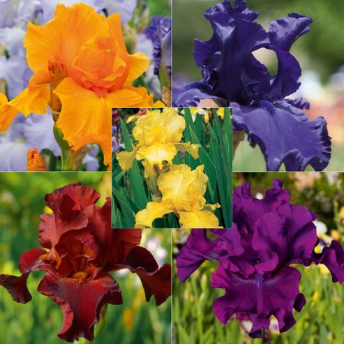 Iris 'Re-Blooming Collection' - 5 rhizomes (1 of each variety)