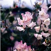 spencer sweet pea seed Mollie Rillstone (Lathyrus odoratus 'Mollie Rillstone')