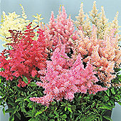 Astilbe arendsii 'Showstar' - 1 packet (30 seeds)