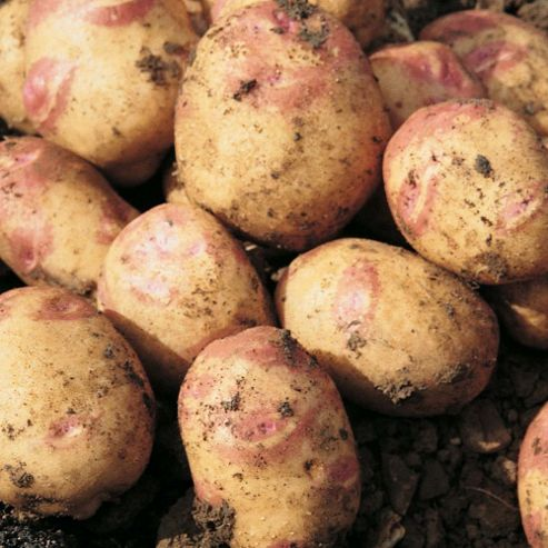 Potato 'Lady Balfour' - 10 tubers