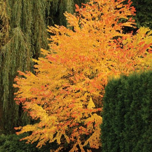 Katsura Tree - Part of the Alan Titchmarsh Collection - 2 x 9cm potted plants