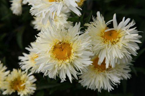 daisy (Leucanthemum ? superbum 'Goldrausch' (PBR))