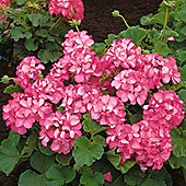Geranium 'Horizon Pink Ice' F1 Hybrid - 1 packet (6 seeds)