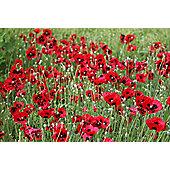Caucasian scarlet poppy (Papaver commutatum)