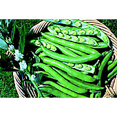 broad bean (broad bean 'Bunyards Exhibition')