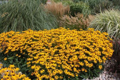 coneflower (Rudbeckia fulgida var. sullivantii 'Goldsturm')
