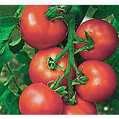 tomato (tomato 'Alicante')