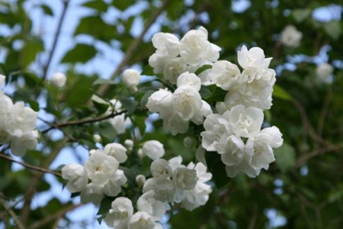 mock orange (Philadelphus 'Virginal')