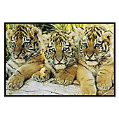 Tiger Cubs Gloss Black Framed A Trio of Tigers Poster