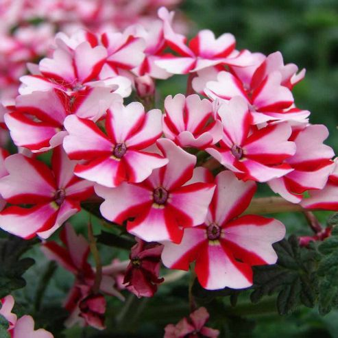 Verbena 'Candy Cane' - Part of the Alan Titchmarsh Collection - 10 Postiplugs
