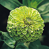 Zinnia elegans 'Envy Double' - 1 packet (100 seeds)