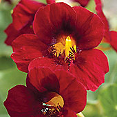 Nasturtium 'Crimson Emperor' - 1 packet (30 seeds)
