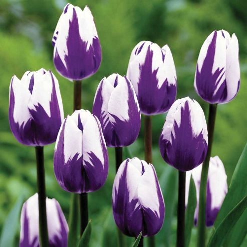 Tulip 'Blueberry Ripple' - 15 bulbs