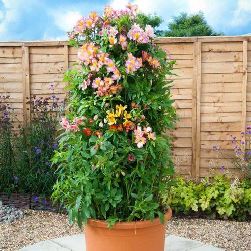 Alstroemeria 'Everest Collection' - 3 x 7cm potted plants