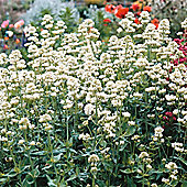 Centranthus ruber 'Snowcloud' - 1 packet (70 seeds)