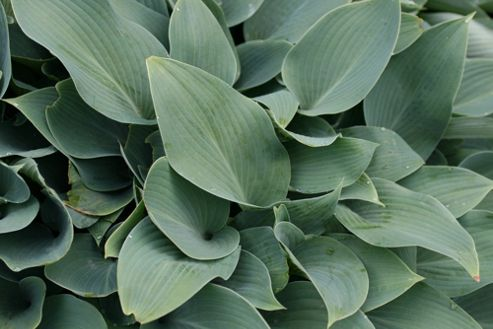 plantain lily (Hosta (Tardiana Group) 'Halcyon')