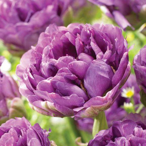 Tulip 'Purple Wow' - 8 bulbs