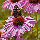 Echinacea purpurea 'Pink Parasol' - 1 packet (35 seeds)