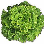 Lettuce 'Leny' (Batavian) - 1 packet (200 lettuce seeds)