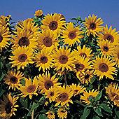 Sunflower 'Dwarf Yellow Spray' - 1 packet (40 seeds)