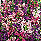 Penstemon barbatus 'Navigator' - 1 packet (45 seeds)