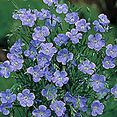 Linum grandiflorum 'Blue Dress' - 1 packet (200 seeds)