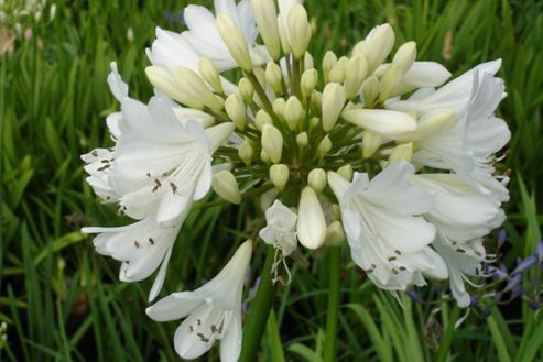 African lily (Agapanthus 'Arctic Star')