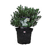 Hebe Sutherlandii (Veronica Shrub) 2L Potted