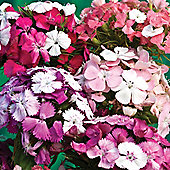 Dianthus barbatus 'Kaleidoscope Mixed' - 1 packet (40 seeds)