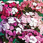 Dianthus barbatus 'Kaleidoscope Mixed' - 1 packet (40 seeds)