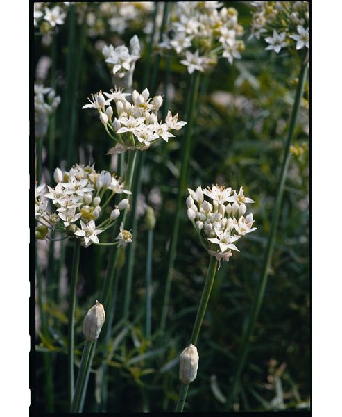 garlic chives (garlic chives)