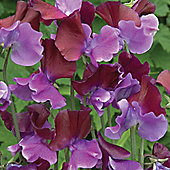 Sweet Pea 'Purple Pimpernel' - 1 packet (20 seeds)