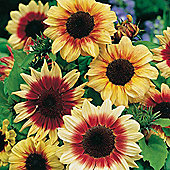 Sunflower 'Magic Roundabout' F1 Hybrid - Part of the Alan Titchmarsh Collection - 1 packet (20 seeds)