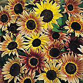 Sunflower 'Pastiche' - 1 packet (40 seeds)