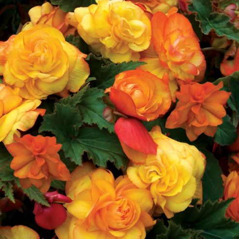 Begonia 'Apricot Fragrant Falls' - Part of the Alan Titchmarsh Collection - 3 jumbo plugs