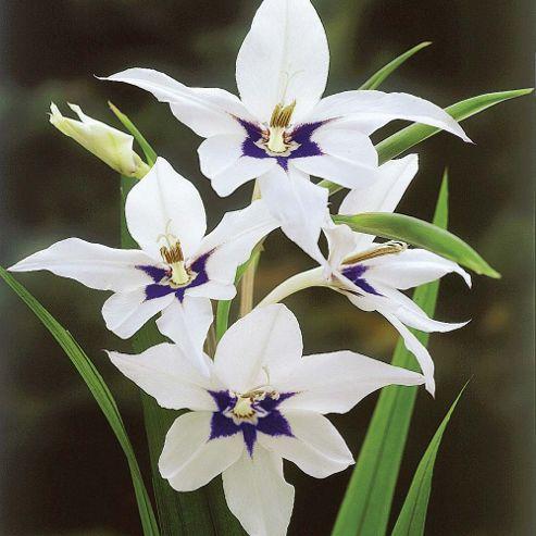 Gladiolus murielae - 100 bulbs