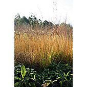 moor grass (Molinia caerulea subsp. 'Heidebraut')