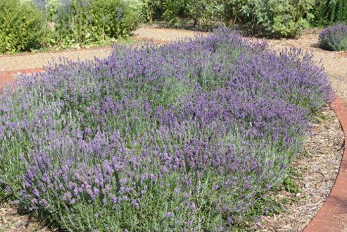 lavender (Lavandula angustifolia 'Munstead')