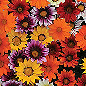 Gazania splendens 'New Day Mix' F1 Hybrid - 1 packet (20 seeds)