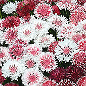 Cornflower 'Classic Romantic' - 1 packet (200 seeds)