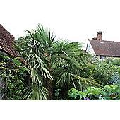 chusan palm (Trachycarpus fortunei)
